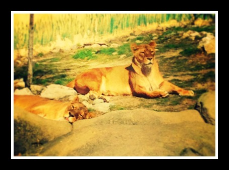 The lions were being super lazy, napping in the sunshine.