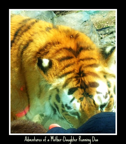 The tiger wanted to play though!