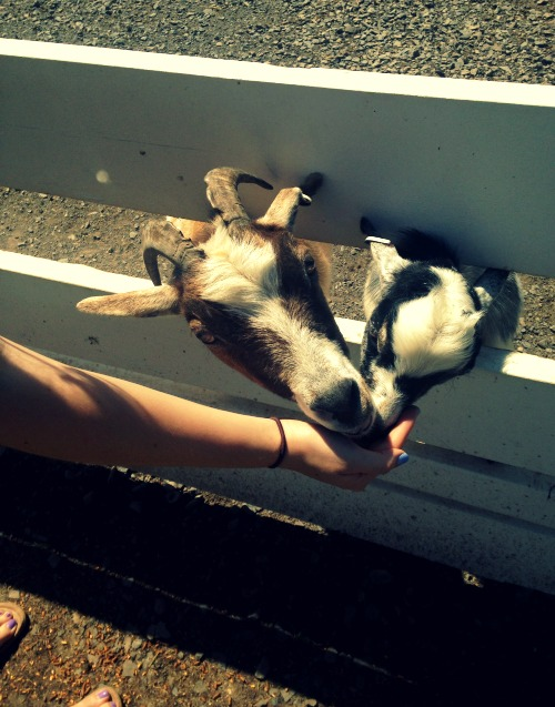 Cute little goat!
